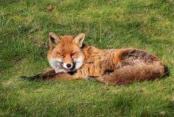 Fox ? Restless Fiona