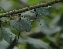 A pair of Willow Emeralds in tandem ovipositing on 13 Septembery ? Barry Reed