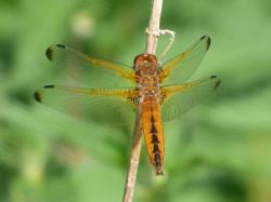 Scarce Chaser ? Barry Reed
