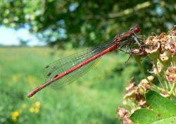 Large Red Damselfly © A Reynolds