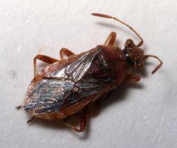 Rhopalus parumpunctatus