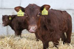 Legacy Grazing Project Red Poll cattle